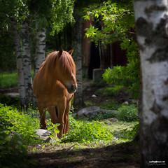 What haircut? (>>Marko<<) Tags: summer horse animal canon suomi finland hair stand kukkola stud hevonen joensuu ori suomenhevonen harjas valokuvaus finnishhorse