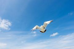 ウミネコ (GenJapan1986) Tags: 2014 とびしま ウミネコ 旅行 野鳥 酒田市 日本 nikond600 travel japan yamagata bird 空 sky gull 山形県 carlzeiss distagont225 zf2 フェリー ferry