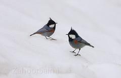 Black-crested Tit (Zahoor-Salmi) Tags: camera pakistan macro nature birds animals canon lens photo tv google flickr natural action wildlife watch bbc punjab wwf salmi walpapers chanals discovry beutty bhalwal zahoorsalmi