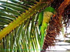 Wild Quaker Parakeet in Barcelona May 2014 (Amberinsea Photography) Tags: barcelona cute beautiful garden spain parrot palmtree catalunya parcdelaciutadella wildparrot amberinseaphotography