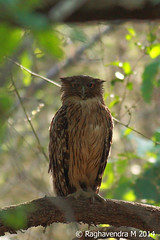 Brown Fish Owl (Ketupa zeylonensis) (mragu) Tags: india bird karnataka 400mm bhadra shimoga brownfishowl ketupazeylonensis 40d 400mmf56 canon40d raghavendram raghavendramayagundi