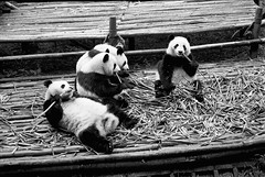 (JC.Murphy) Tags: china bear park morning travel bw white holiday black film breakfast forest giant 50mm zoo panda kodak eating wildlife trix bamboo research chengdu endangered sichuan base