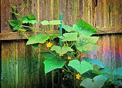 cucumber vines (MissyPenny) Tags: vegetables leaves garden vines buckscounty cucumbers bristolpennsylvania cucumbervines