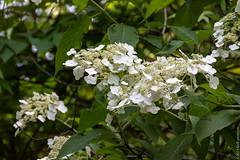 Hydrangea (kirill3.14) Tags: summer blossoming bushes botanicalgardens
