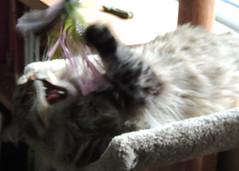 Garrus (zamburak) Tags: cat garrus