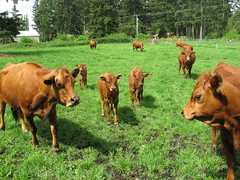 Pat's Tarentaise Cattle 003 (mikekincaid) Tags: cattle beef tarentaise beefcattle patstarentaisecattle