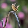 Wren (I) (gtncats) Tags: bird nature wildlife wren potofgold canon70d photographyforrecreation infinitexposure