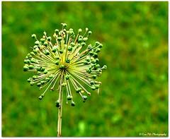 grn (mayflower31) Tags: blossom wiese blte garten allium zierlauch