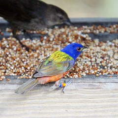 Painted bunting (pmonaghan) Tags: bird birds painted beaufort bunting huntingisland
