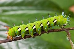 Procitheronia fenestrata (Frank_Deschandol) Tags: peru insect reptile amphibian prou