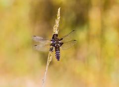 Libellula depressa (Nereus[GER]) Tags: macro nature dragonfly libelle broadbodiedchaser libelluladepressa plattbauch segellibelle