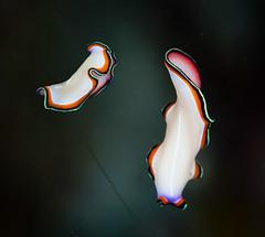 IMG_2424 (Andrey Narchuk) Tags: color macro lines underwater flat worms papua raja nudi ampat