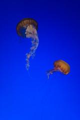 Chrysaora fuscescens (oliver.dodd) Tags: california aquarium monterey jellyfish jelly chrysaora cnidaria scyphozoa chrysaorafuscescens semaeostomeae pacificseanettle pelagiidae medusozoa