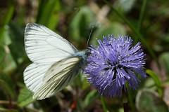 Aporia crataegi on Globularia nudicaulis (imanh) Tags: white flower butterfly insect globe daisy vlinder bloem iman groot witje aporia crataegi heijboer globularia blackveined geaderd imanh kogelbloem naaktstengelige nudicaulus