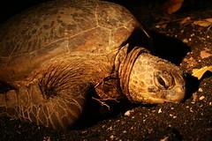 Green turtle_5269