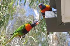 Rainbow Lorikeet (eos1954) Tags: birds parrot rainbowlorikeet australianbirds featheredfriends birdsofaustralia australianparrot