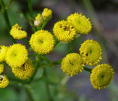 2014_0805Common-Tansy0001 (maineman152 (Lou)) Tags: summer flower nature weed maine august wildflower herb naturephotography commontansy naturephoto