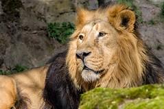 King of the Hill (BlaM4c) Tags: animal cat germany de geotagged mammal bayern deutschland lion katze deu mammalia tier nürnberg löwe ger asiaticlion asiatischerlöwe säugetier pantheraleopersica raubtier indianlion indischerlöwe groskatze persischerlöwe geo:lat=4944897380 geo:lon=1114510640