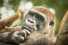 2014-08-09-10h59m04.BL7R6597 (A.J. Haverkamp) Tags: amsterdam zoo gorilla thenetherlands artis dierentuin shomari httpwwwartisnl dob12072007 canonef100400mmf4556lisusmlens pobamsterdamthenetherlands