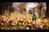 Go go go! (Art by Vins) Tags: autumn trooper colors fun toy toys photography leaf amazon bokeh figure 5d figurine clone sideshow yotsuba danbo revoltech danboard 5dmkii cartox