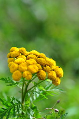 Common Tansy (Tony Steele,Oxford,UK) Tags: oxford burgessfieldnatureparkoxford tonysteelephotography commontansy