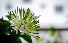 _DSC0876 (abtahiun) Tags: white flower green nature beauty garden nikon blossoms 1855 bangladesh d5100