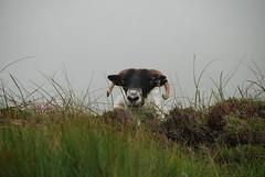 Irlande - Parc National du Connemara (Philippe Maraud) Tags: irlande connemara parcnationalduconnemara
