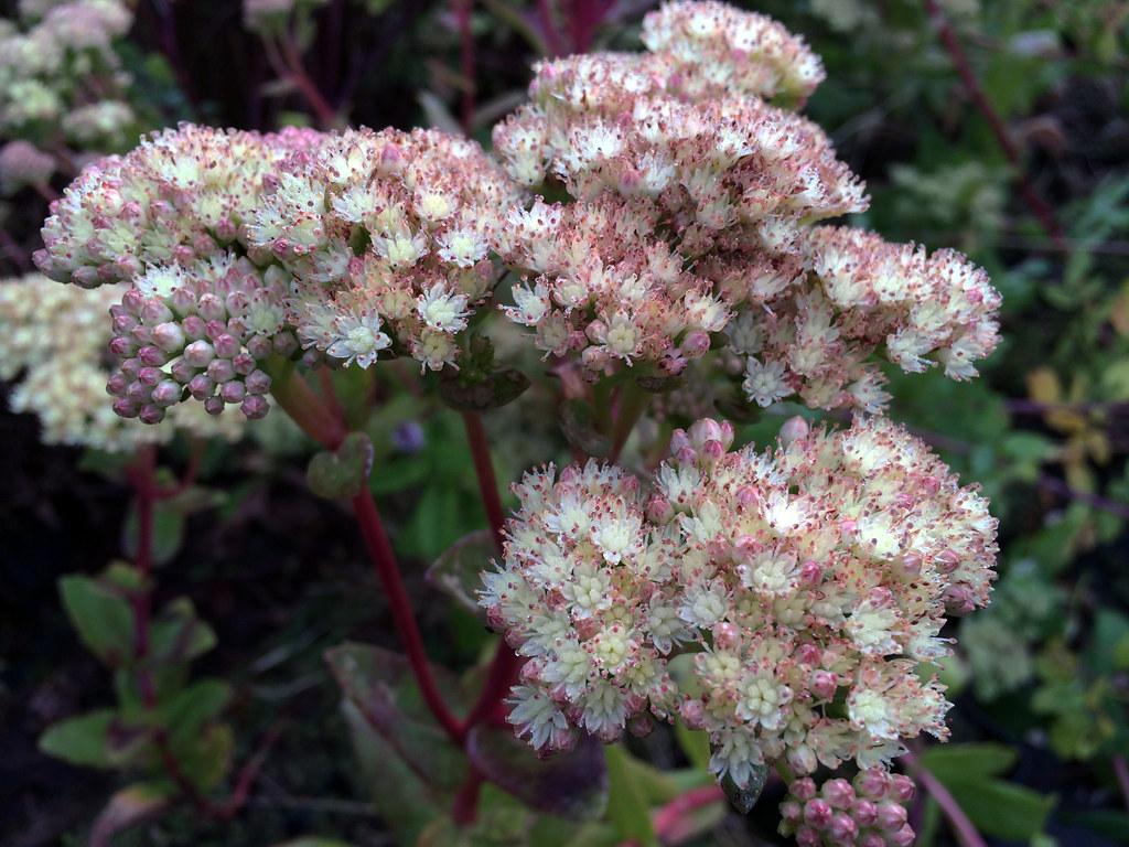 Sedum telephium subsp. maximum 'Gooseberry Fool'