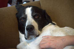 Jasper (Justin van Damme) Tags: dog white black big ears down whiskers couch lazy floppy laying jowls