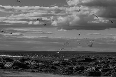 gulls, in flight, offshore ledge, ocean, Monhegan Island, Maine, Nikon D40, nikon nikkor 105mm f-4, 8.28.14 (steve aimone) Tags: ocean sky blackandwhite seascape monochrome clouds nikon rocks gulls flight maine monochromatic ledge nikkor atlanticocean f4 monhegan grays 105mm monheganisland primelens nikond40