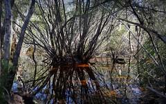 Wardell Heath (dustaway) Tags: nature water pool reflections shadows australia nsw stems treebark waterhole thicket waterscape northcoas