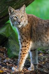 Lynx (The Wasp Factory) Tags: tierpark sababurg wildlifepark luchs eurasianlynx nordluchs tierparksababurg