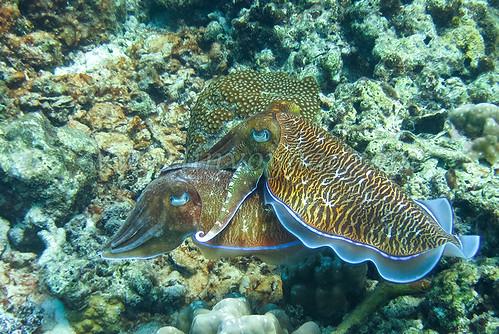 cuttlefish wedding               IMG_0645bs