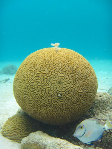 brain coral + feather duster