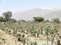 """autour, champs de cactus; et la plus haute dune d'Amérique en fond • <a style=""""font-size:0.8em;"""" href=""""http://www.flickr.com/photos/128043923@N02/15151404160/"""" target=""""_blank"""">View on Flickr</a>"""