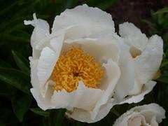 Weie Paeonia (fotoculus) Tags: flowers flores fleur germany deutschland flora blossoms blumen bodensee mainau blten paeonia pfingstrosen inselmainau