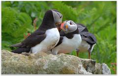 Puffin Partners (eric robb niven) Tags: scotland dundee wildlife mara isleofmull puffins seabirds lunga wildbird treshnish turus ericrobbniven pentaxk50