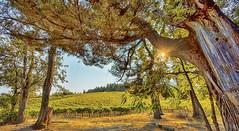 Mt Veeder Hills (YT Blue) Tags: california autumn trees colors vines hills grapes napa rays mtveeder