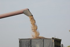 Whacking Wheat! (Jeannette Greaves) Tags: hugh wheat manitoba 2014 whacking combining nyard deerwood