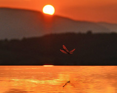 Dragonfly (jan lyall) Tags: sunset italy reflection pool 1 golden dragonfly 330 umbria d800