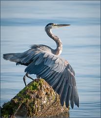 Blue Heron (TT_MAC) Tags: bird heron bluebird greatblueheron ardeaherodias greatblue courtenaybc puntledgeriverestuary