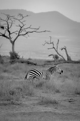 Lone Zebra, Amboseli (Poulomee Basu) Tags: africa wild portrait blackandwhite holiday topf25 beautiful landscape evening cool kenya stripes dramatic 100v10f zebra wilderness habitat herd ecosystem herbivore biodiversity amboseli riftvalley africansafari d90 nikond90 blackandwhiteonly nikond90club animaportrait d90users riftvalleywildlife