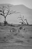 Lone Zebra, Amboseli (Poulomee Basu) Tags: africa wild portrait blackandwhite holiday topf25 beautiful landscape evening cool kenya stripes dramatic 100v10f zebra wilderness habitat herd ecosystem herbivore biodiversity amboseli riftvalley africansafari d90 nikond90 blackandwhiteonly nikond90club animaportrait d90users riftvalleywildlife