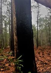 Long Leaf Pine Forest (rebekah.c.james) Tags: uncw ecology bio366 uncweteal sp2017 image2 forest controlledburning longleafpine rainyday fire scorch prescribedburns