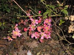 238 (en-ri) Tags: fiorellini little flowers boccioli blossoms sony sonysti