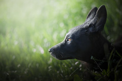 once upon a time... I was a little wolf cub (DigitalBite) Tags: dog dogphotography gsd germanshepherddog puppy gsdpuppy puppyeyes animal k9 canon outdoor u e