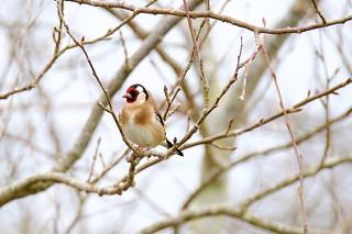 Chardonneret élégant Carduelis carduelis - European Goldfinch,,,,,,MEL_9685