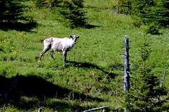 Caribou in Gros Morne National Park, Newfoundland (Joseph Hollick) Tags: newfoundland grosmornenationalpark tablelands animal caribou