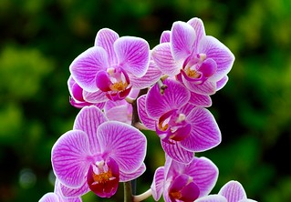 Pink Orchid, Green Hedge