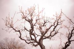 Ume - Nikon D3s & Nikon AF-S Nikkor 24mm f/1.4G ED (TORO*) Tags: nikon d3s af afs nikkor 24 24mm f14g f14 14 ed osaka castle park plum ume japan bokeh blur tree plant blossom depth field pastel outdoor flower japanese apricot